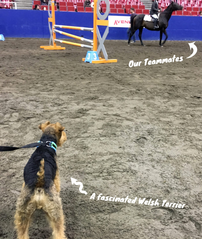 Welsh Terrier Competes at Horse and Dog Show